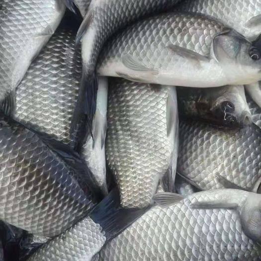 重庆中科三号鲫鱼 人工养殖 0.1公斤