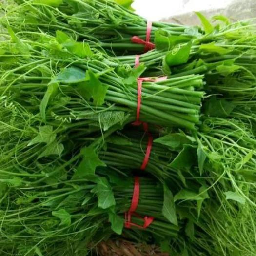 贵州省安顺市普定县佛手瓜藤尖 人工种植 10-15cm