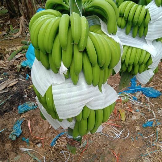 百色田东县威廉斯香蕉 七成熟