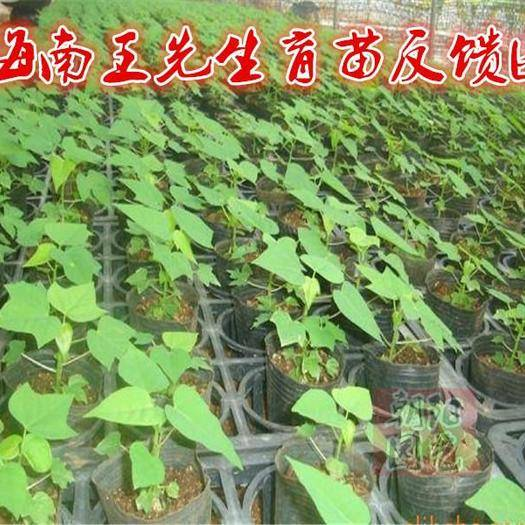 邵阳邵东县木瓜种子 矮株大果红妃木瓜1包100粒