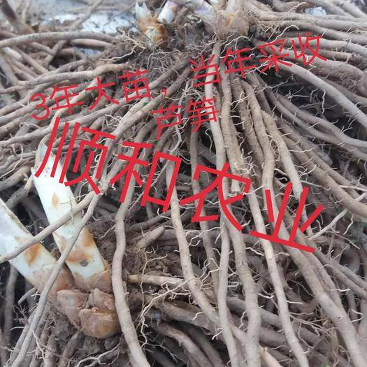菏澤曹縣蘆筍苗 蘆筍根3年大根20顆起包郵,定植后可采收10多年,抗病高產