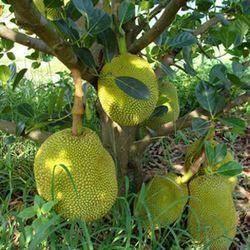 钦州灵山县红肉菠萝蜜苗 泰国8菠萝蜜商业价格最高的品种之一。单果重达50斤以上。
