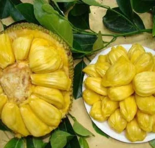 钦州灵山县四季菠萝蜜苗 种植次年结果,一年四季有果。带营养袋发货。
