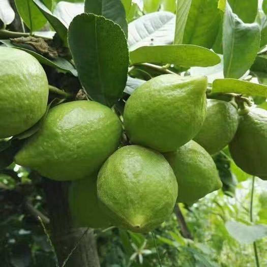 灵山县香水柠檬苗 当年种当年结果,四季有果。美容养颜神果。