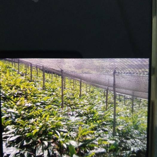 文山马关县草果苗 丛生苗 0.5~1米