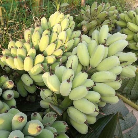 湛江雷州市 香蕉,粉蕉,蘋果蕉