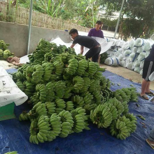麻栗坡县米蕉 七成熟