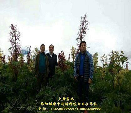 綿陽游仙區桔梗 大黃優質種苗(技術免費服務)保底回收產品