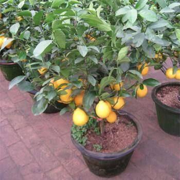 灵山县四季柠檬苗 可盆栽可地栽种植当年四季果。食用美容养颜延缓衰老。效益好。