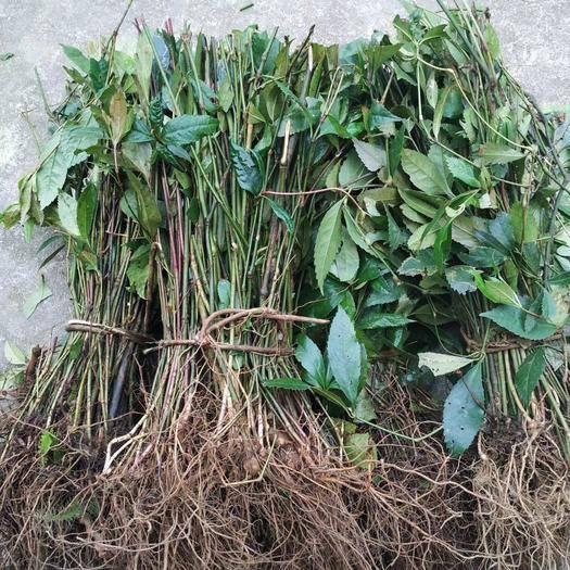 来宾金秀瑶族自治县草珊瑚种子