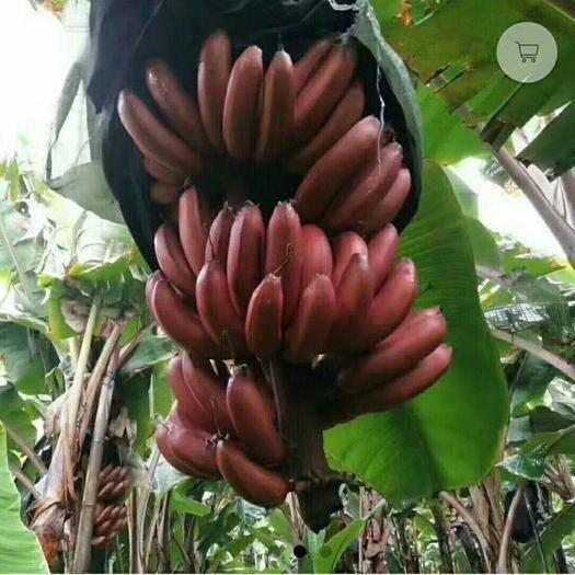 南寧西鄉塘區 紅香蕉 8斤裝 八成熟 果大飽滿 又香又甜 摘現發貨 包郵