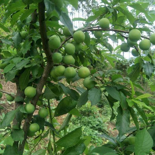 岑溪市四月李 本产品采用农家肥无公害预计4月份上市