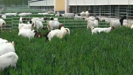 商丘寧陵縣 波爾種母羊,頭胎懷孕母羊
