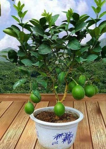 灵山县台湾无核青柠苗 种植当年或次年结果,食用美容养颜祛斑延缓衰老。