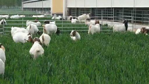 商丘寧陵縣波爾山羊 大型養殖基地