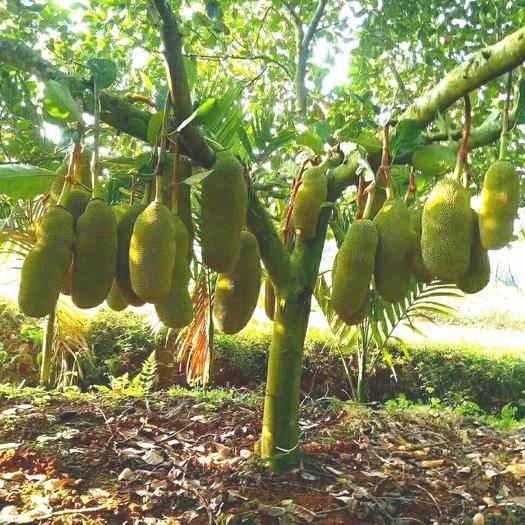 钦州灵山县马来西亚一号菠萝蜜苗 商业种植面积最大,效益最好菠萝蜜。四季有果。带营养袋发货。