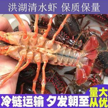 湖北洪湖小龙虾养殖基地直供鲜活小龙虾