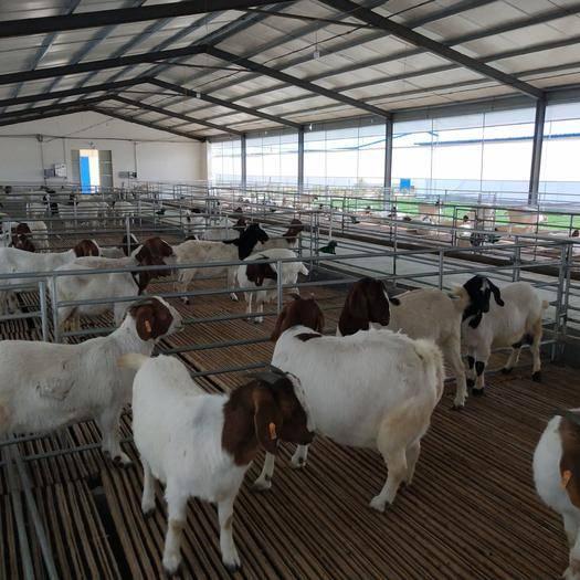 商丘寧陵縣 波爾山羊,種牛
