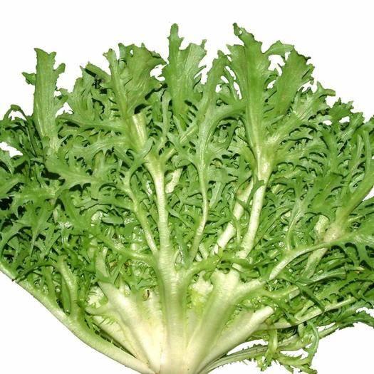 沭阳县苦苣种子 蔬菜种子苦苣菜种子