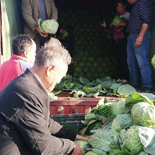渭南大荔縣 大棚包菜,色澤綠,個頭適中,新鮮好賣
