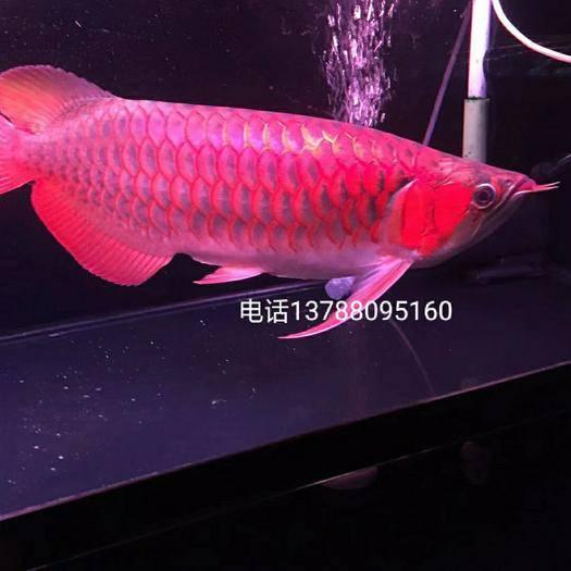 广州荔湾区金龙鱼 血红龙…大中小规格都有