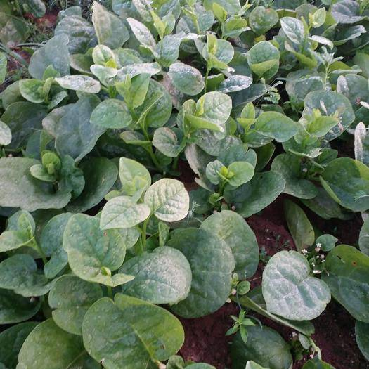 海南省海口市龙华区大叶木耳菜 绿色