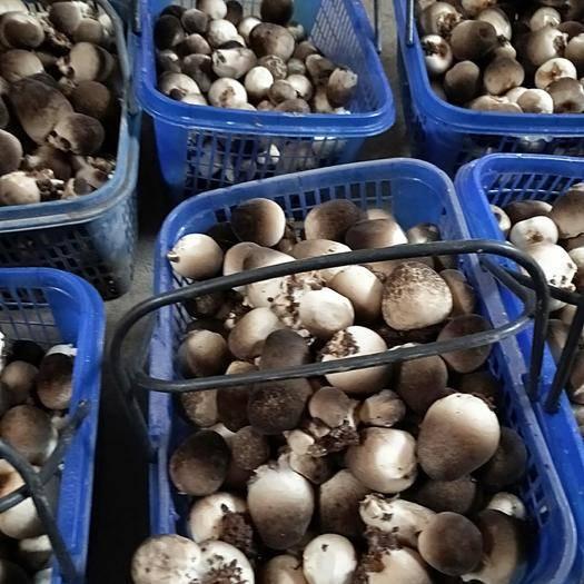 河南省濮阳市台前县 最鲜的草菇,现摘现卖!