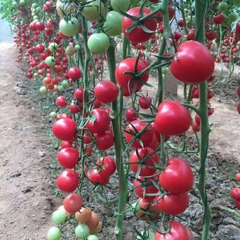 口感贝贝西红柿苗子千禧西红柿苗