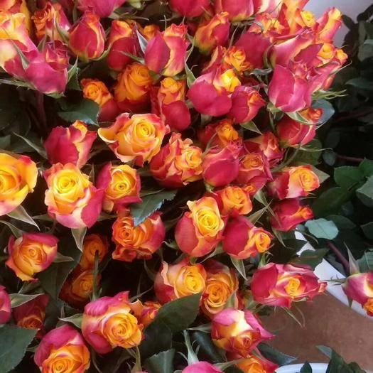 昆明呈貢區 云南基地直銷 種苗 優質玫瑰 月季小苗