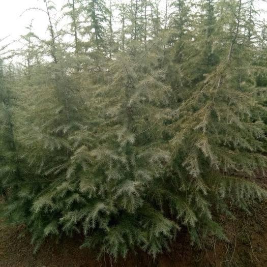 南京浦口區 雪松,綠化工程用量最大的苗木,適應范圍廣,喜干怕水。