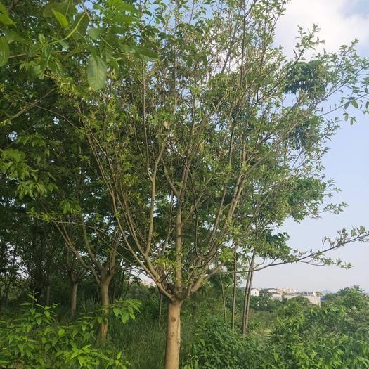 重慶大葉榕 大量供應3-30公分黃葛樹黃桷樹,常年供應占地貨。