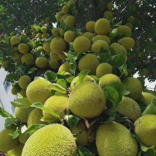 钦州灵山县海南菠萝蜜苗 目前中国大陆地区最粗生耐寒的适应性强本土菠萝蜜品种。