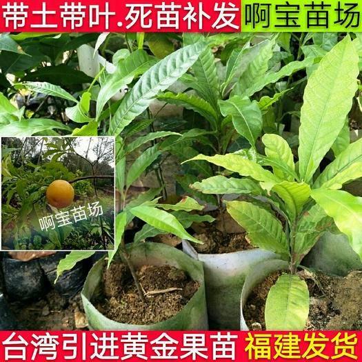 漳州芗城区 【2颗起批】黄晶果苗台湾名贵果树黄金果树盆栽果树早结果