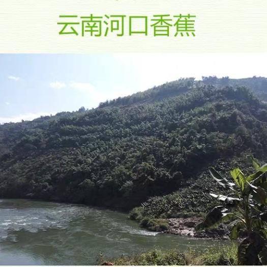 红河河口瑶族自治县河口香蕉 八成熟 8斤净重 价格实惠 包邮到家!