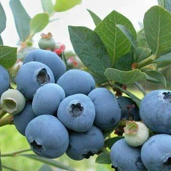 薄雾蓝莓苗  带土保湿发货  保证对版  适合南北方种植