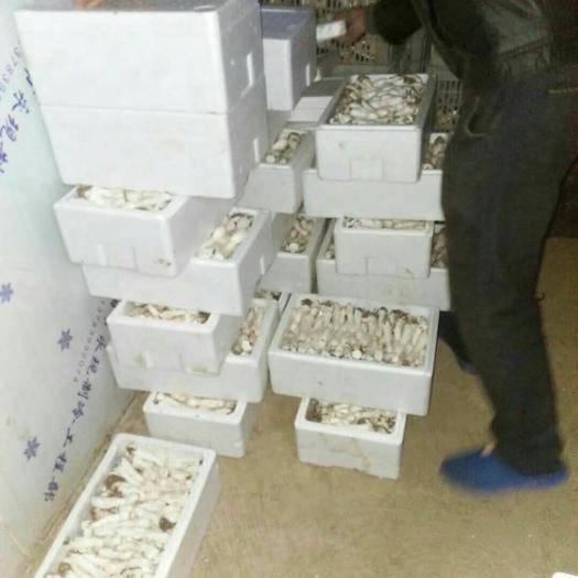 河南省濮阳市清丰县鸡腿菇 人工种植 鲜货