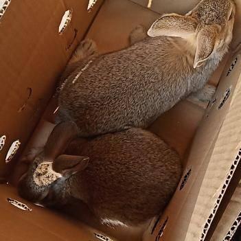 比利时杂交野兔包品质包活严格把手公母发货一斤一二两的重量
