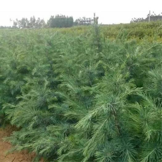 郯城县 雪松种子 印度雪松树种子 雪松籽 宝塔松 绿化树种林木种子