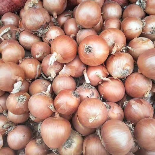 济宁金乡县 金乡常年供应各种规格的黄皮洋葱,精加工发市场价格便宜