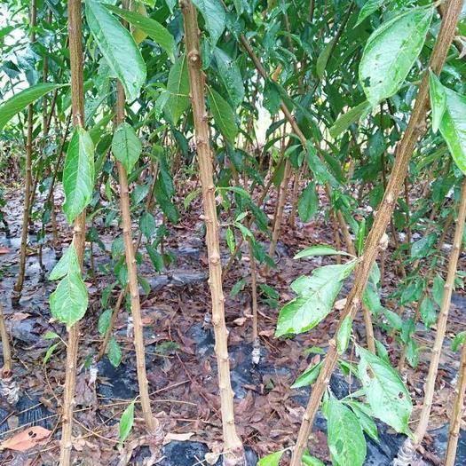 广元苍溪县 杏李种苗,品种恐龙蛋,风味玫瑰。质优价廉,高端水果种苗