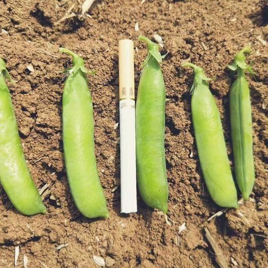 老河口市 豌豆莢 豌豆角 甜豌豆 量大  上貨快