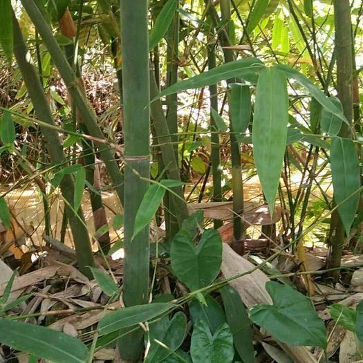 罗定市麻竹 甜竹