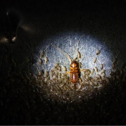 惠州惠城區 中藥材,低脂精粉  蟑螂蟲干高溫烘干無菌