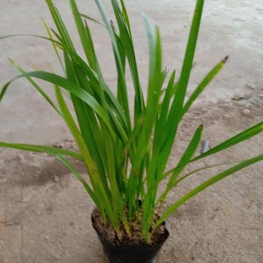 佛山 中東海棗種苗棕櫚科園林綠化樹苗