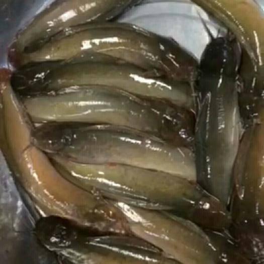 高州市三黄塘鲺 塘虱鱼,靓货