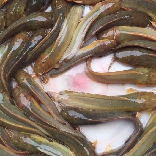 四会市 三黄塘鲺苗(养殖密度大,生长速度快,颜色黄净)