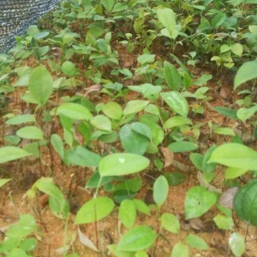 玉林北流市 白肉粉质土茯苓苗