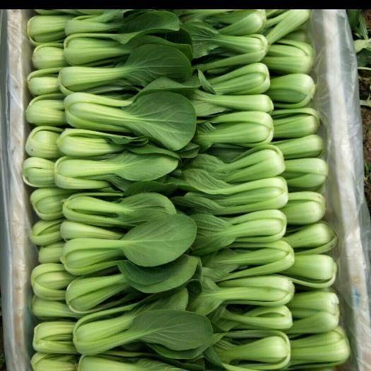 菏泽曹县油菜苗 上海青   小白菜   油麦菜   菠菜   常年供应