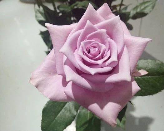 昆明呈贡区玫瑰苗 丰花月季,大花月季,卡罗拉,黄色