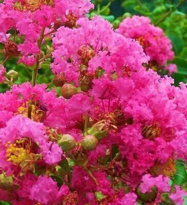 宿遷沭陽縣 盆景紫薇紅火箭紫薇苗盆栽地栽紫薇紅火球苗當年開花南方北方種